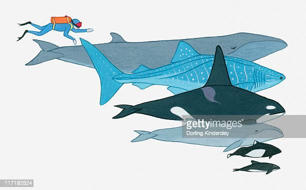 illustration showing the size of fin whale, whale shark, killer whale, pygmy right whale, dall's porpoise, black dolphin in comparison to a human being - killer whale stock illustrations, clip art, cartoons, & icons