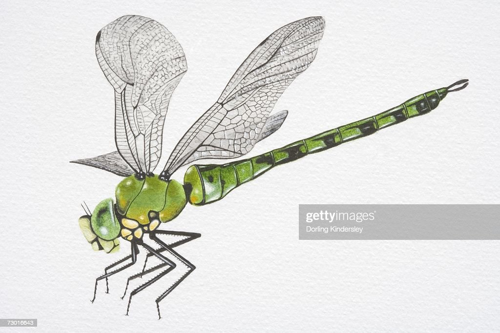 Illustration, Southern Hawker Dragonfly (aeshna cyanea), side view. : stock illustration