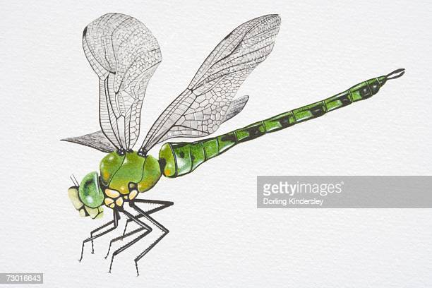 Illustration, Southern Hawker Dragonfly (aeshna cyanea), side view.