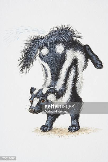 illustration, striped skunk (mephitis mephitis) standing on forelegs with its hind legs thrown up in the air, side view. - skunk stock illustrations