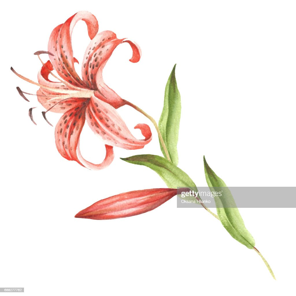 Image tiger lily flowers hand draw watercolor illustration stock image tiger lily flowers hand draw watercolor illustration stock illustration izmirmasajfo