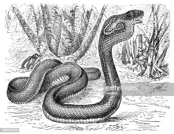 ilustraciones, imágenes clip art, dibujos animados e iconos de stock de indian cobra (naja naja) - cobra