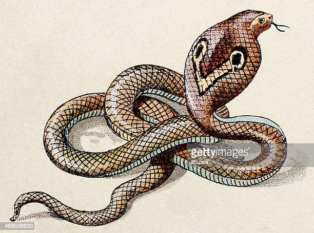 ilustraciones, imágenes clip art, dibujos animados e iconos de stock de indian cobra, reptiles animales antigüedades de ilustración - cobra
