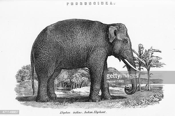 ilustraciones, imágenes clip art, dibujos animados e iconos de stock de elefante indio - elefante