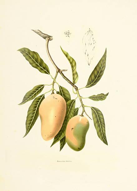 Indian mango   Antique Plant Illustrations