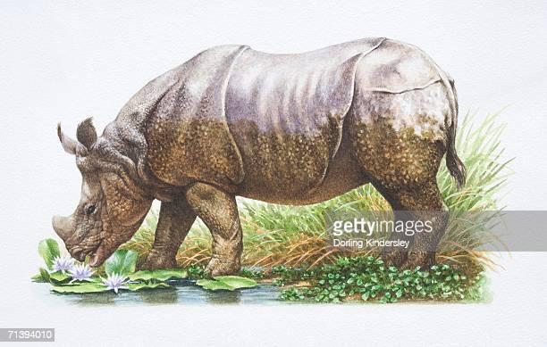 Indian Rhinoceros, Rhinoceros unicornis, side view, grazing by Pond.