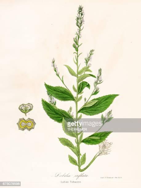 indian tobacco botanical engraving 1843 - tobacco crop stock illustrations, clip art, cartoons, & icons