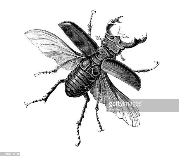 insect antique engraving illustration: lucanus cervus (stag beetle) - insect stock illustrations