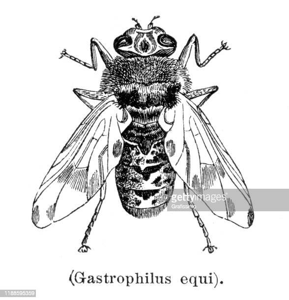 insect gasterophilus equi illustration 1897 - bot fly stock illustrations