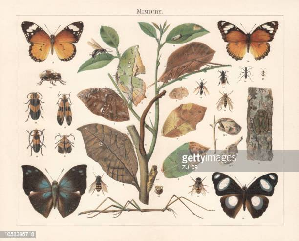insect mimicry, lithograph, published in 1897 - lithograph stock illustrations