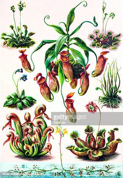 ilustrações de stock, clip art, desenhos animados e ícones de plantas insectívoras - naja
