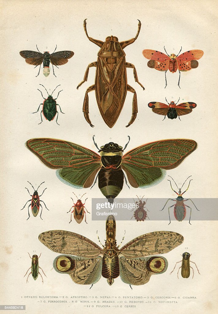 Insects cicada bug beetle 1881 : stock illustration