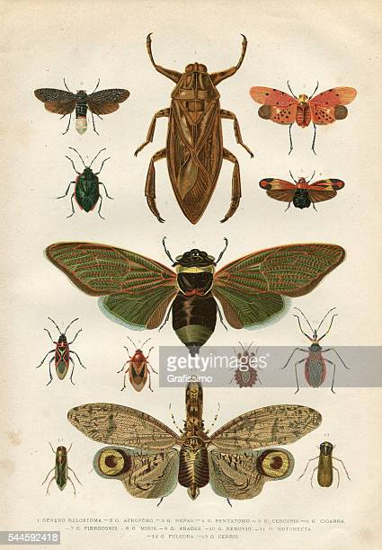 insects cicada bug beetle 1881 - insect stock illustrations