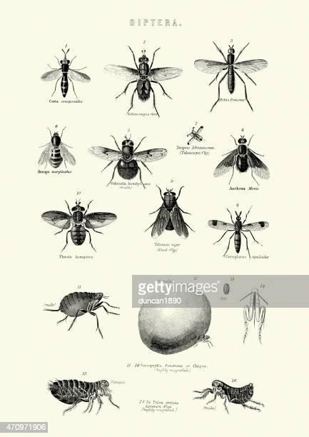 illustrations, cliparts, dessins animés et icônes de insectes-diptera-mouches - insecte