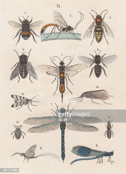 insects, hand-colored lithograph, published in 1880 - odonata stock illustrations, clip art, cartoons, & icons