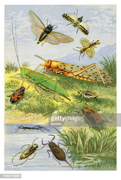 insects - cricket insect stock illustrations