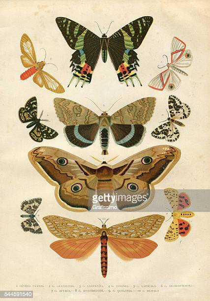Insects moth Hepialidae 1881