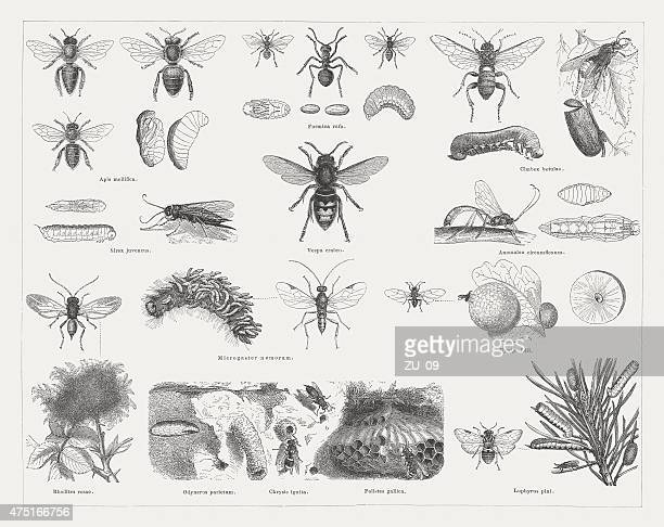 Insects (Hymenoptera), wood engravings, published in 1876