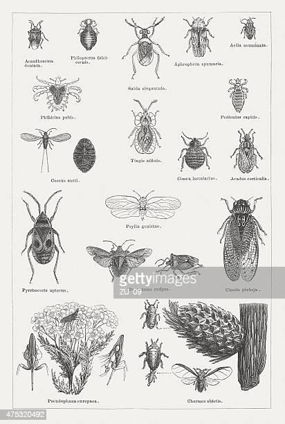 illustrations, cliparts, dessins animés et icônes de insectes, publié en 1876 - cigale