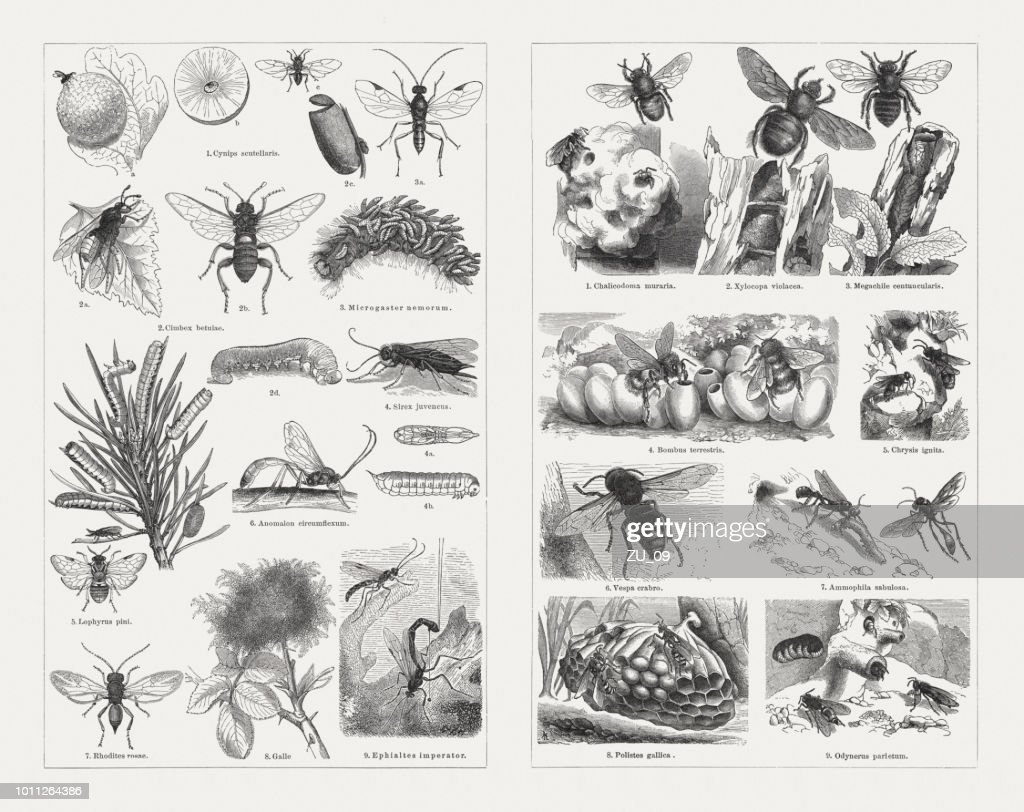 Insects (Hymenoptera), wood engravings, published in 1897 : stock illustration