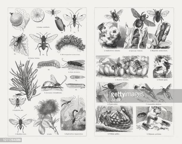 insects (hymenoptera), wood engravings, published in 1897 - bumblebee stock illustrations, clip art, cartoons, & icons