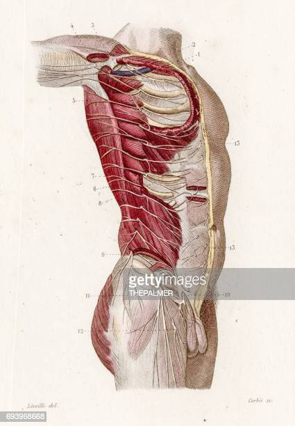 Intercostale zenuwen anatomie gravure 1886