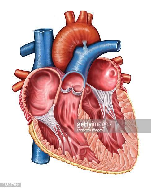 interior of human heart. - papillary muscle stock illustrations