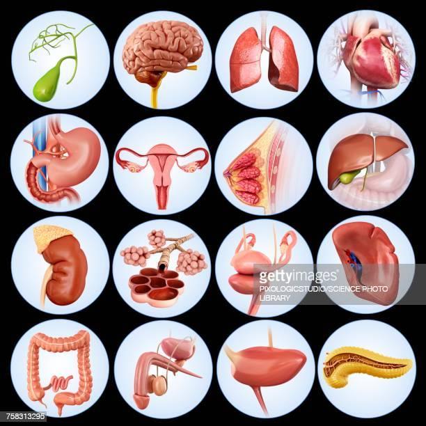internal human organs, illustration - pancreas stock illustrations