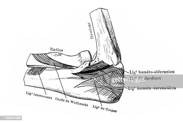 肘関節の内側横靭帯 - 靭帯点のイラスト素材/クリップアート素材/マンガ素材/アイコン素材