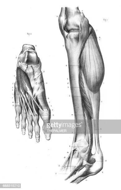 Internal leg region anatomy engraving 1866
