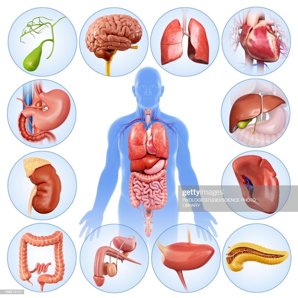 Internal Male Organs Illustration Stock Illustration | Getty Images