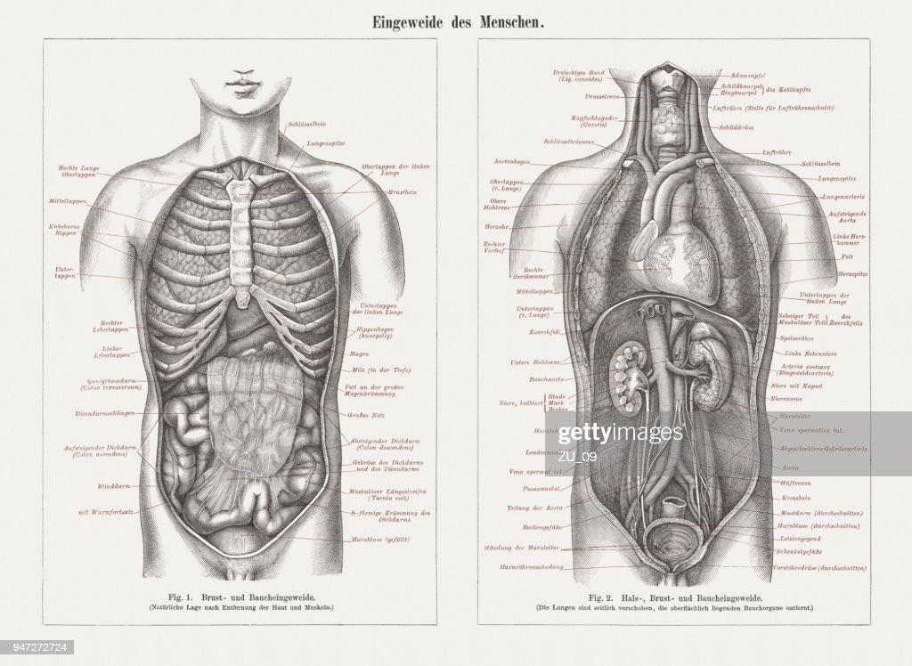 Internal organs in human anatomy, wood engravings, published in 1897 : stock illustration