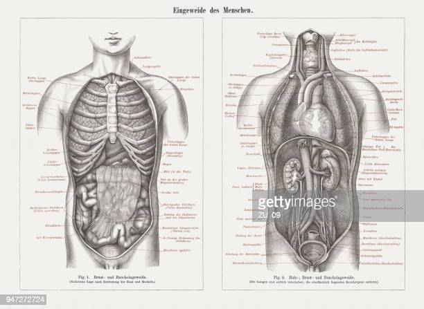 internal organs in human anatomy, wood engravings, published in 1897 - chest torso stock illustrations, clip art, cartoons, & icons