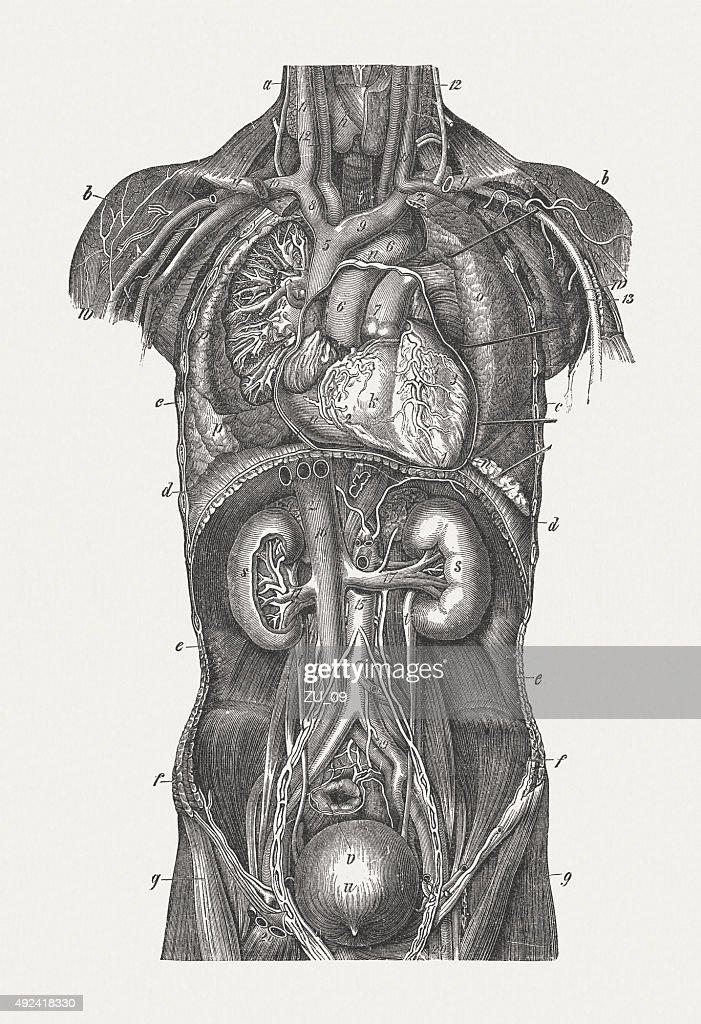 Internal organs of man wood engraving published in 1884 stock internal organs of man wood engraving published in 1884 stock illustration ccuart Images