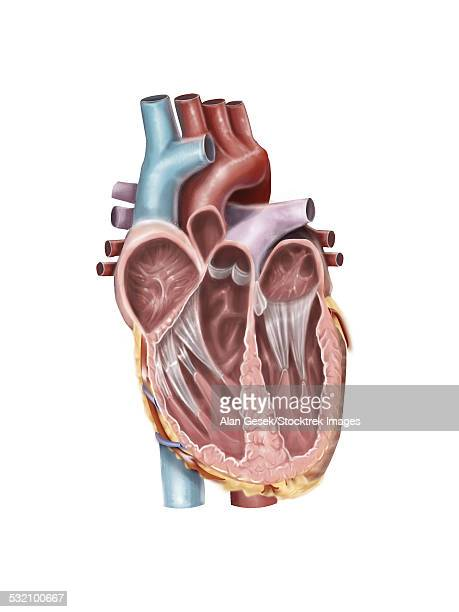internal view of the human heart. - papillary muscle stock illustrations