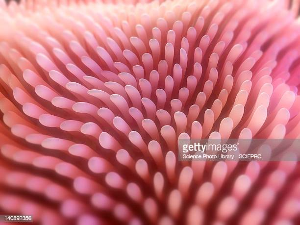 intestinal villi, artwork - human intestine stock illustrations