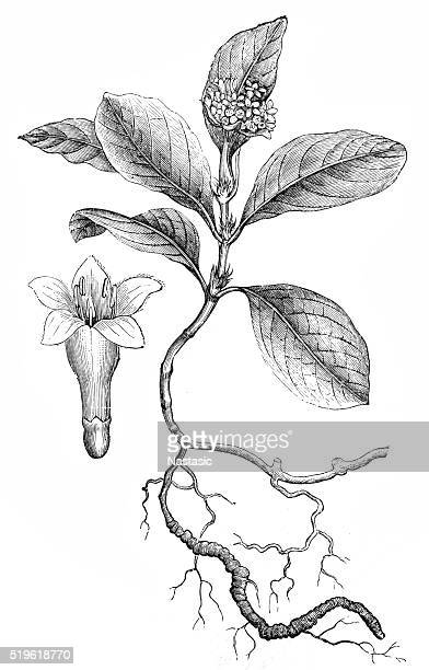 ipecacuanha (cephaelis ipecacuanha) - tobacco crop stock illustrations, clip art, cartoons, & icons