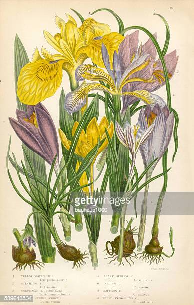 Iris, Water Iris, Trichonema, Crocus, Purple Crocus, Victorian Botanical Illustration