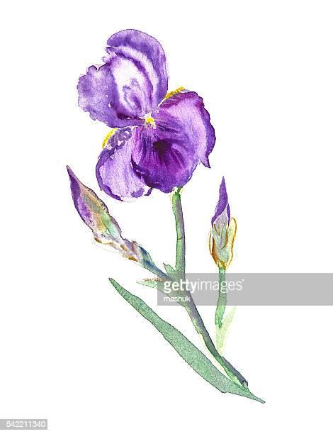 illustrations, cliparts, dessins animés et icônes de iris aquarelle - iris