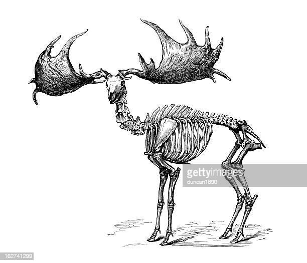 Irish Elk- Megaloceros giganteus