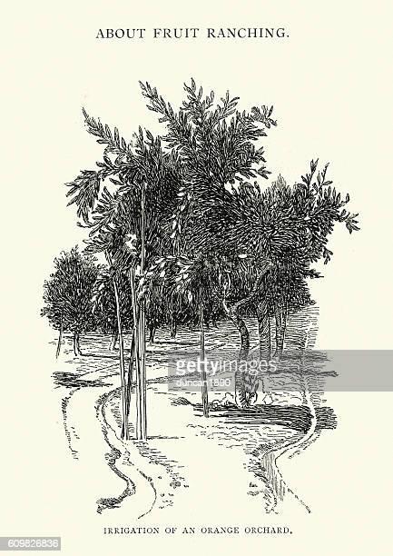 ilustrações de stock, clip art, desenhos animados e ícones de irrigation of an orange orchard, usa, 19th century - laranjeira