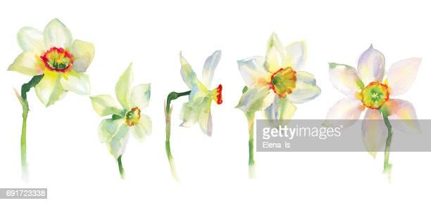 isolated flower narcissus. daffodils watercolor - narcissus mythological character stock illustrations, clip art, cartoons, & icons