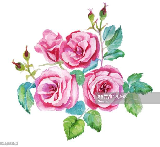 isolated watercolor roses. botanical illustration. - rose colored stock illustrations