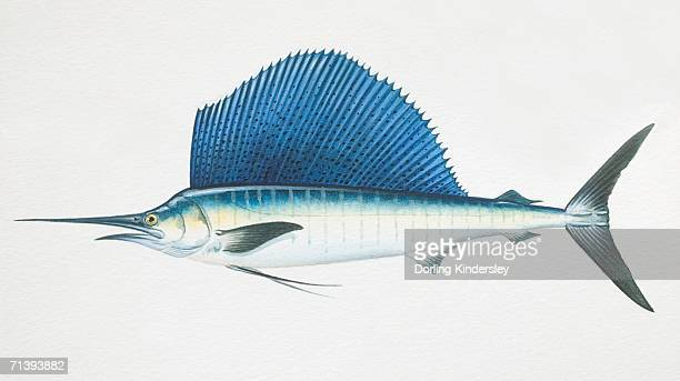 Istiophorus platypterus, sailfish, side view.