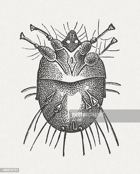Itch mite (Sarcoptes scabiei), wood engraving, published in 1881
