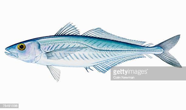 jack mackerel (trachurus declivis, t. novaezelandiae, t. murphyi), saltwater fish - trachurus stock illustrations