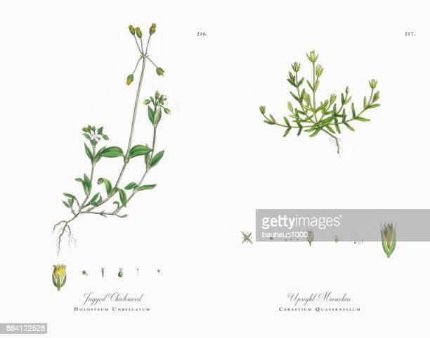 jagged chickweed, holosteum unbellatum, victorian botanical illustration, 1863 - plant stage stock illustrations, clip art, cartoons, & icons