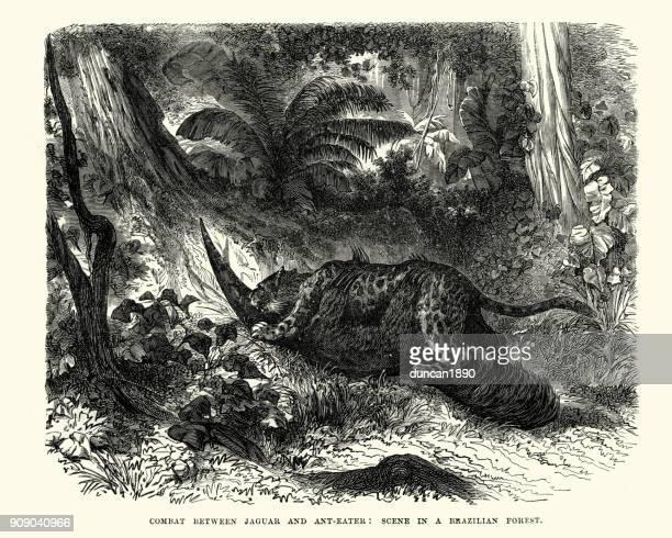 ilustraciones, imágenes clip art, dibujos animados e iconos de stock de jaguar ataca un ant eater, selva brasileña - jaguar
