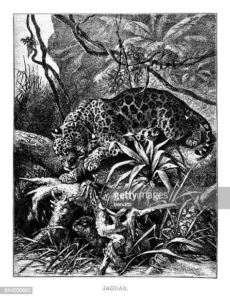 ilustraciones, imágenes clip art, dibujos animados e iconos de stock de jaguar caza - jaguar