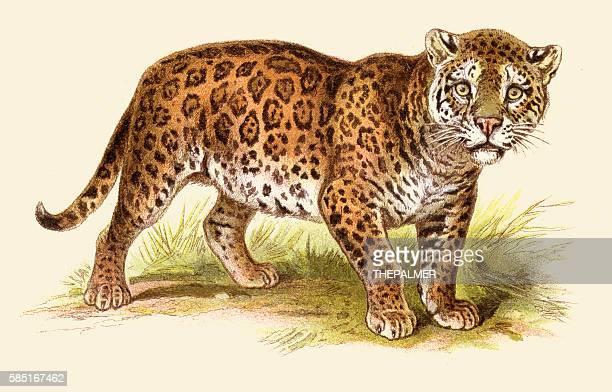 ilustraciones, imágenes clip art, dibujos animados e iconos de stock de jaguar illustration 1888 - jaguar